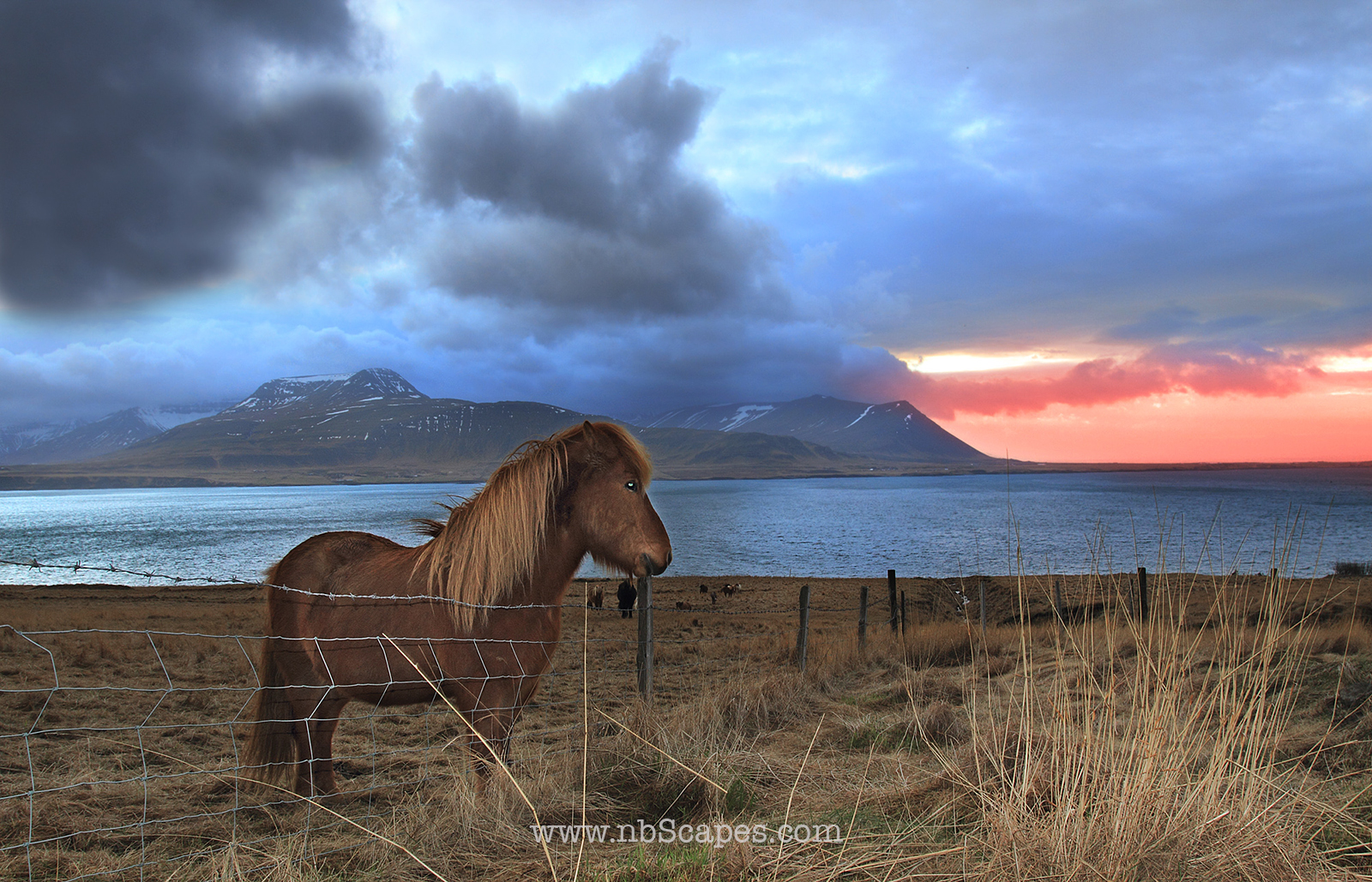 Icelandic Horse at Sunrise in Iceland