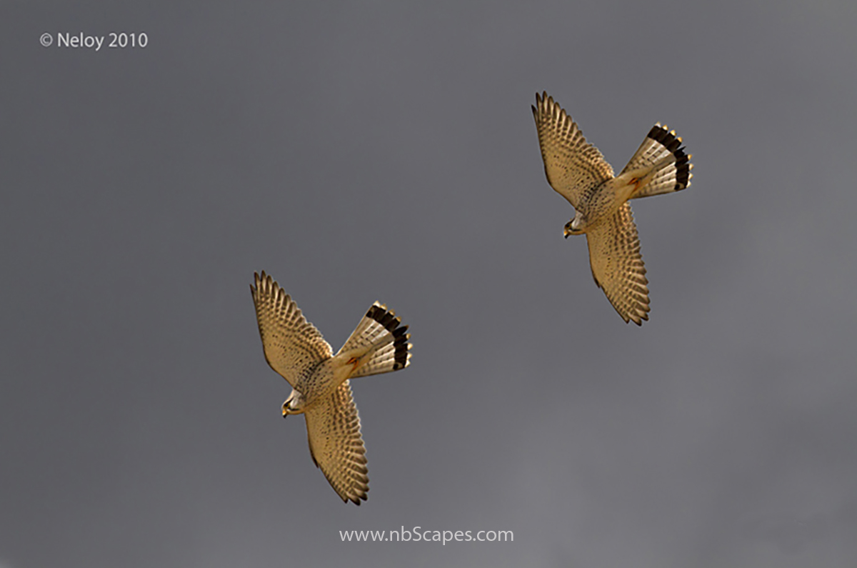 Fighting Kestrel
