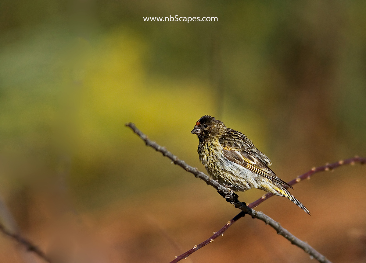 Fire Fronted Serin