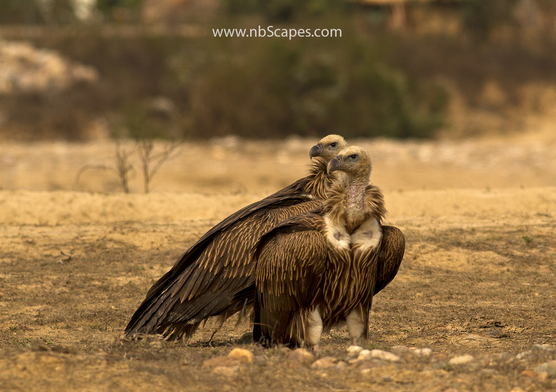 Gyps Vulture