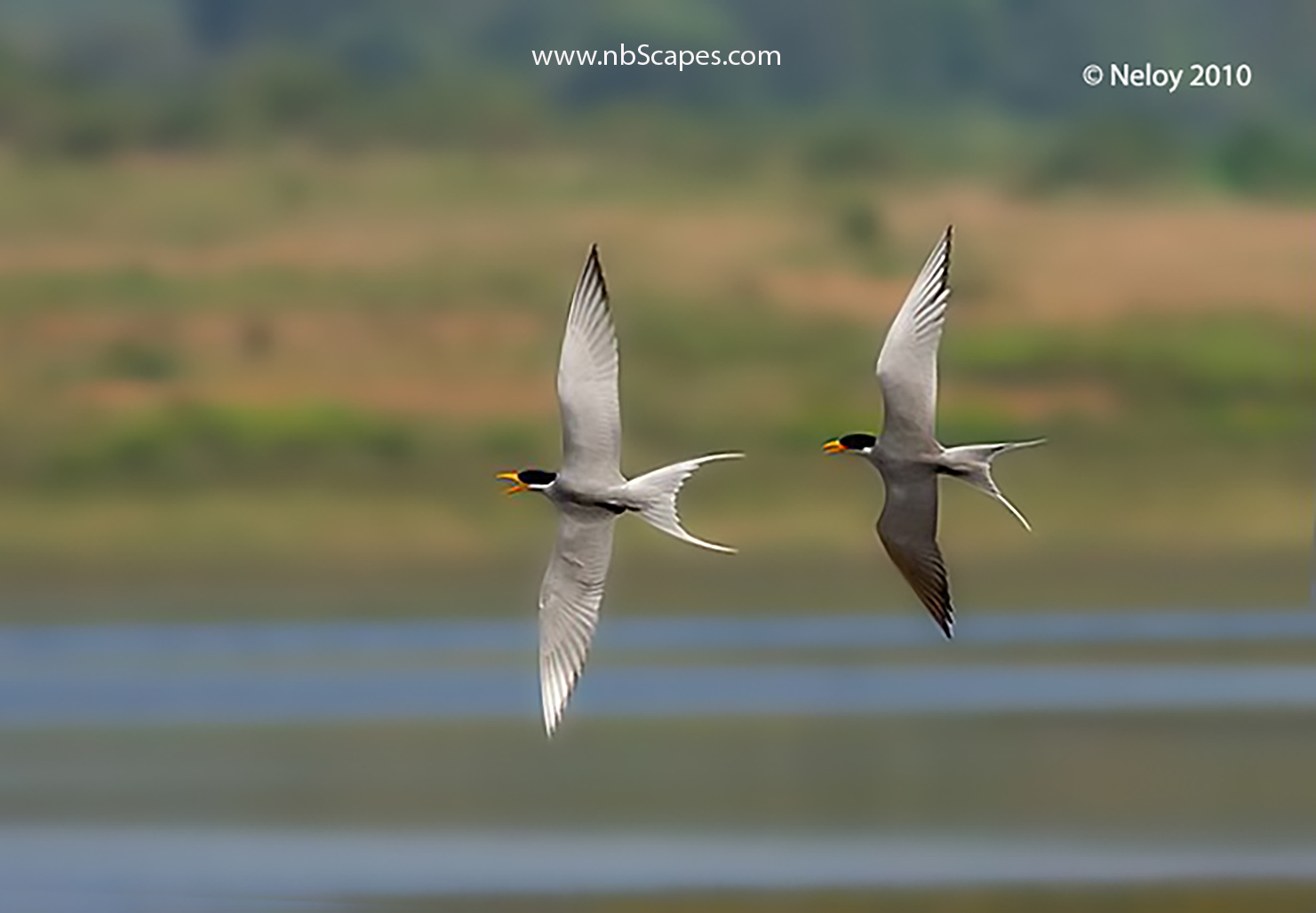 River Tern Courtship Flight